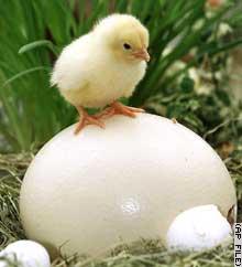 chickenegg